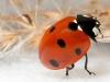 uge_19_ladybird2