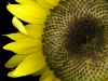 Uge_40_sunflower1